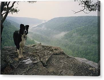 A Border Collie Stands On The Bluff Canvas Print by Stephen Alvarez