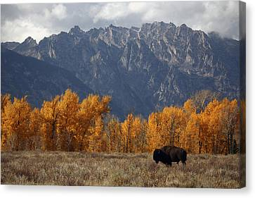 A Buffalo Grazing In Grand Teton Canvas Print by Aaron Huey