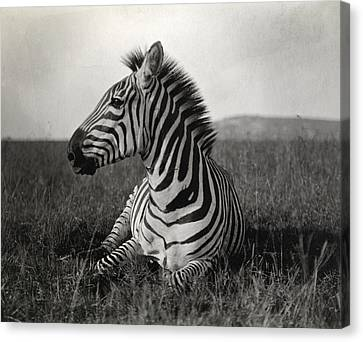 Zebra Canvas Print - A Burchells Zebra At Rest by Carl E. Akeley