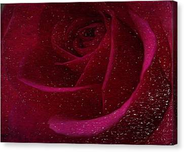 A Burgundy Rose In Snow Canvas Print by Sarah Vernon