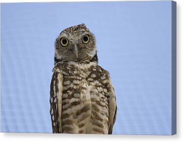 A Burrowing Owl Athene Cunicularia Canvas Print by Joel Sartore