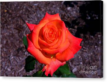 Canvas Print featuring the photograph A Burst Of Sunny Beauty. by David Bishop