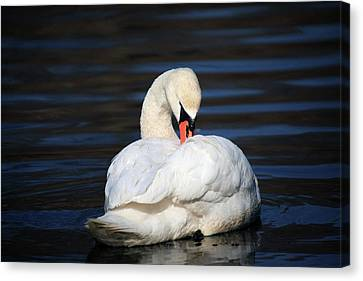 Canvas Print - A Busy Swan by Karol Livote