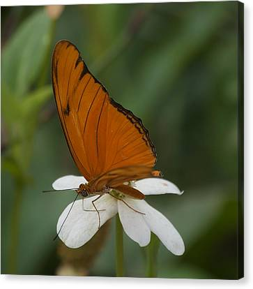A Butterfly Lands Upon A White Flower Canvas Print by Susan Heller