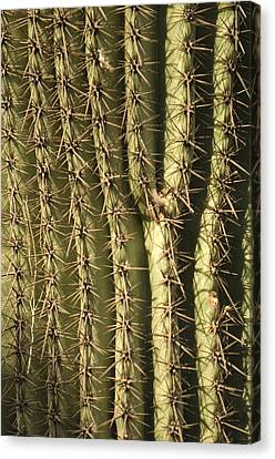 A Cactus From The Omaha Zoos Desert Canvas Print by Joel Sartore