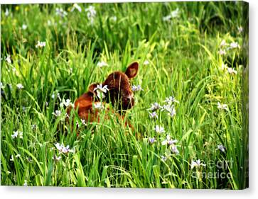 A Calf's Perfect Haven  Canvas Print by Cathy  Beharriell