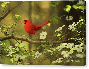 Canvas Print featuring the photograph A Cardinal And His Dogwood by Darren Fisher