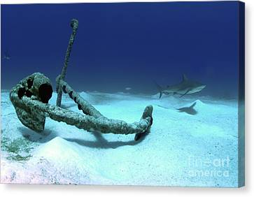 A Caribbean Reef Shark Swims Canvas Print by Amanda Nicholls