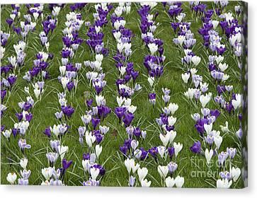 A Carpet Of Color Canvas Print