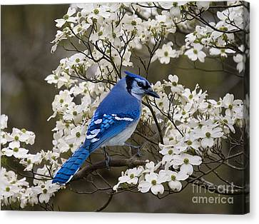 Canvas Print featuring the photograph A Chatty Bluejay by J Cheyenne Howell