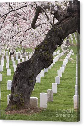 A Cherry Tree In Arlington National Cemetery Canvas Print by Tim Grams