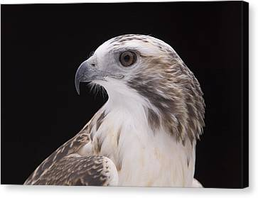 A Close-up Of A Kriders Red-tailed Canvas Print by Joel Sartore