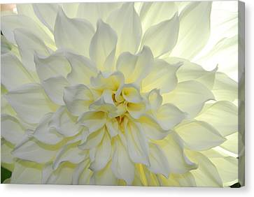 A Close Up Of A White Dahlia Flower Canvas Print by Raul Touzon