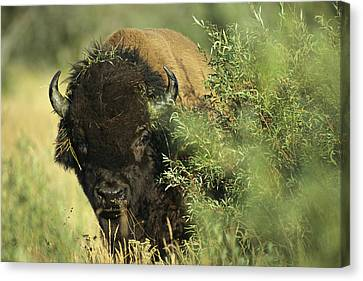 A Close-up View Of An American Bison Canvas Print by Raymond Gehman