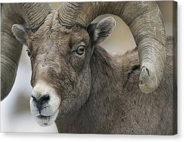 A Close View Of A Male Bighorn Sheep Canvas Print by Tom Murphy