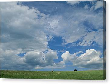 A Cloud-filled Sky Over Pronghorns Canvas Print by Annie Griffiths