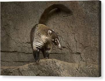 A Coatimundi At The Henry Doorly Zoo Canvas Print by Joel Sartore