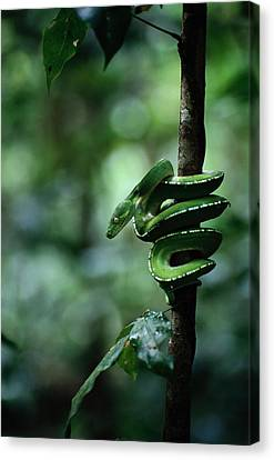 A Coiled Green Tree Python Canvas Print by Sam Abell