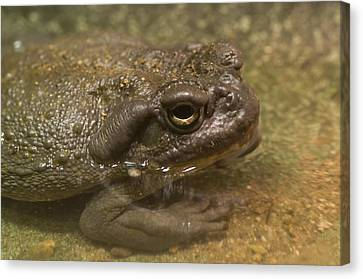 Henry Doorly Zoo Canvas Print - A Colorado River Toad From The Henry by Joel Sartore
