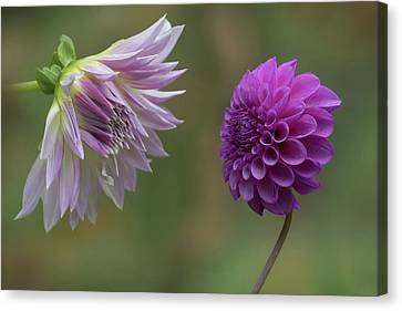 Pinks And Purple Petals Canvas Print - A Conversation Between Dahlias by Angie Vogel