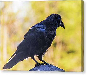 Canvas Print featuring the photograph A Crow Looks Away by Jonny D