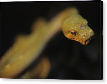 Morphing Canvas Print - A Curious Immature Green Tree Python by Taylor S. Kennedy