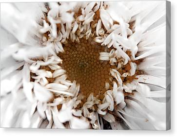 A Daisy Canvas Print by Bransen Devey