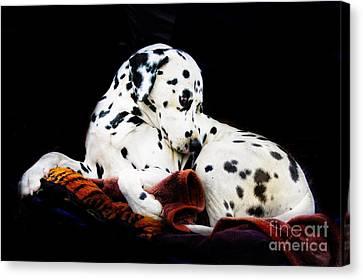 A Dalmatian Prince Canvas Print by Blair Stuart