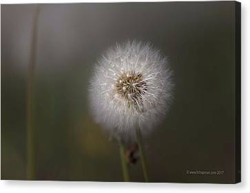 Canvas Print featuring the photograph A Dandelion by Lora Lee Chapman