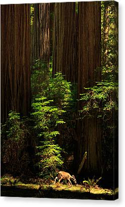 A Deer In The Redwoods Canvas Print