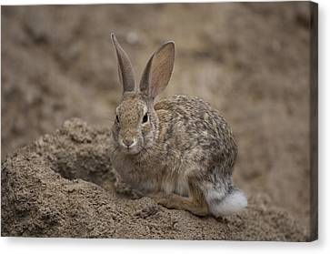 A Desert Cottontail Rabbit At The Henry Canvas Print by Joel Sartore