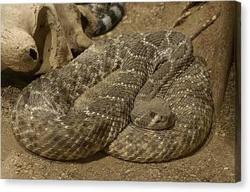 A Diamondbacked Rattlesnake Canvas Print by Joel Sartore