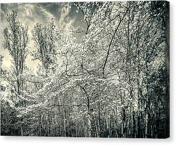 A Dogwood In The Springtime Woods Black And White Canvas Print by Mother Nature