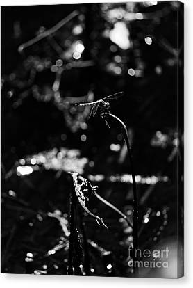 A Dragonfly In Black And White Canvas Print
