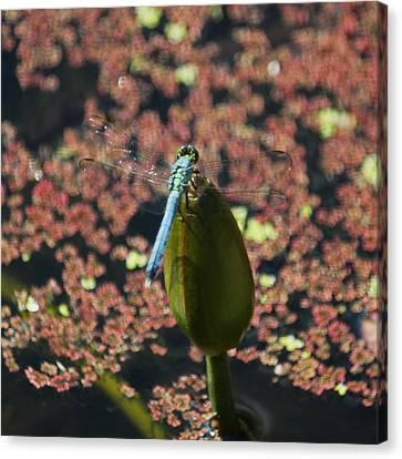 A Dragonfly Kind Of Day Canvas Print by Suzanne Gaff