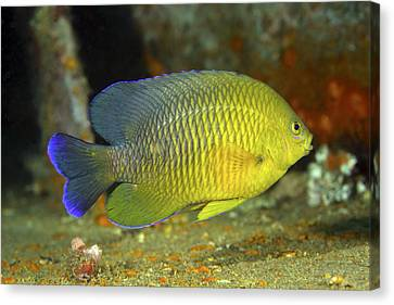 A Dusky Damselfish Offshore From Panama Canvas Print