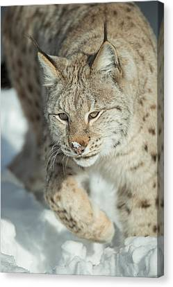 A Eurasian Lynx In Snow Canvas Print by Andy Astbury