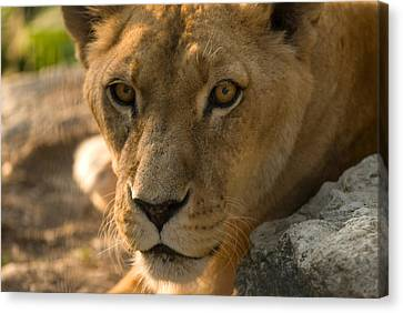 Henry Doorly Zoo Canvas Print - A Female African Lion At Omahas Henry by Joel Sartore