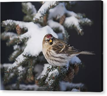 A Female Common Redpoll  Carduelis Canvas Print by Greg Martin