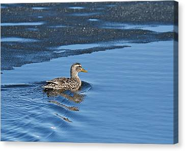 Canvas Print featuring the photograph A Female Mallard In Thunder Bay by Michael Peychich