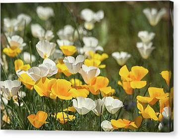Canvas Print featuring the photograph A Field Of Golden And White Poppies  by Saija Lehtonen