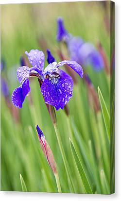 A Field Of Iris Canvas Print