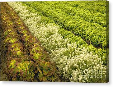 A Field Of Mixed Organic Lettuce Canvas Print by Inga Spence