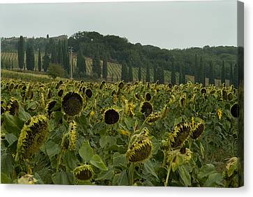 A Field Of Sunflowers Grows Canvas Print by Todd Gipstein