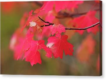 A Flash Of Autumn Canvas Print