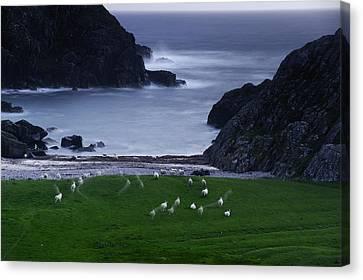 A Flock Of Sheep Graze On Seaweed Canvas Print by Jim Richardson
