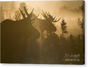 Moose Canvas Print - A Foggy Morning by Tim Grams