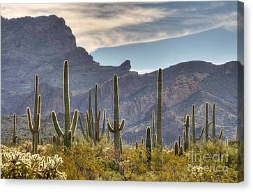 A Forest Of Saguaro Cacti Canvas Print