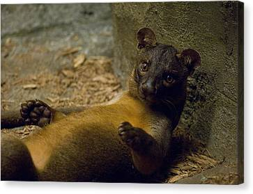A Fossa From The Henry Doorly Zoos Canvas Print by Joel Sartore