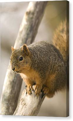A Fox Squirrel Sciurus Niger Perches Canvas Print